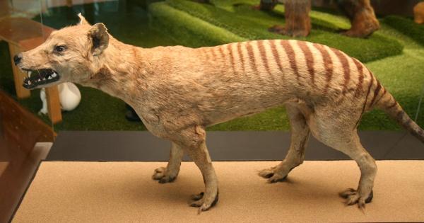 Fotografie. Kůže vakovlka je v Národním muzeu dochovaná ve skvělém stavu. Zdroj: Národní muzeum